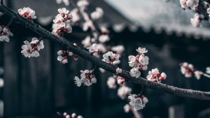 white and red cherry blossom flowers 3979186